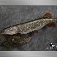 Reproduction fish